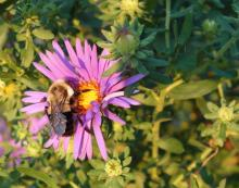 Fig 1: Bee foraging on New England aster (Symphyotrichum novae-angliae).